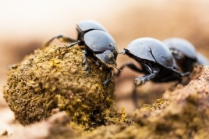 16021866 - three dung beetles working really hard together.