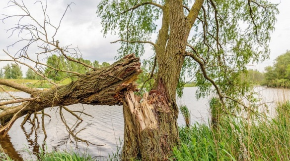 Fallen willow tree on the bank of a river