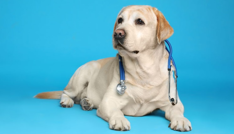Cute Labrador dog with stethoscope as veterinarian on light blue background